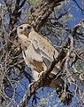 Tawny Eagle (Aquila rapax) (46057173762).jpg