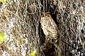Tawny fish owl. Ketupa flavipes - Flickr - gailhampshire.jpg