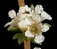 Taxandria parviceps - Flickr - Kevin Thiele.jpg