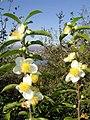 Tea flowers گل های بوته چای عکس از محمدرضا توکلی لاهیجان.jpg