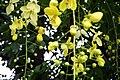 Teak flowers from Commonwealth War Cemetery Chittagong (01).JPG