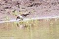 Temmincks-strandloper-3 (28569315451).jpg