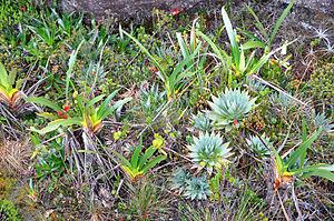 Mount Roraima - Vegetation on Mount Roraima