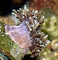 Thalassianthus aster.JPG