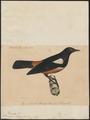Thamnobia albiscapulata - 1835 - Print - Iconographia Zoologica - Special Collections University of Amsterdam - UBA01 IZ16200125.tif