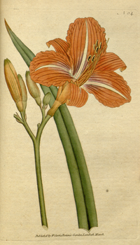 The Botanical Magazine, Plate 64 (Volume 2, 1788).png