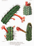 The Cactaceae Vol II, plate XXV filtered.jpg