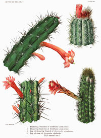 The Cactaceae Vol II, plate XXV filtered