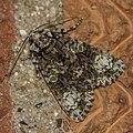 The Coronet - Craniophora ligustri (34583959154).jpg