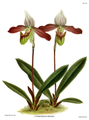 The Orchid Album-02-0144-0095-Cypripedium meirax.png