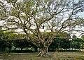 The banyan tree. (31022654044).jpg