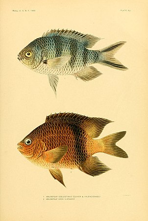 The fishes of Samoa (Plate XLI) (5998996704).jpg