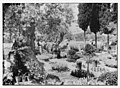 The terrible plague of locusts in Palestine, March-June, 1915. Garden of Gethsemane LOC matpc.14429.jpg