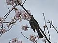 Thousand Sakura tree of Kabake river , 鹿化川 千本桜 - panoramio (13).jpg