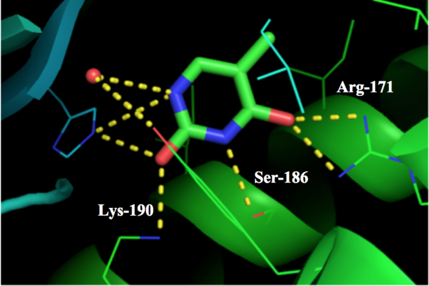 Arg-171, Ser-186, and Lys-190 interactions with thymine in ligand site of thymidine phosphorylase Thymidine phosphorylase ligand binding site.png