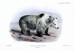 Ursus arctos pruinosus