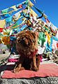 Tibetan Mastiff (23751767726).jpg