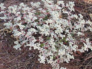 <i>Tidestromia</i> genus of plants