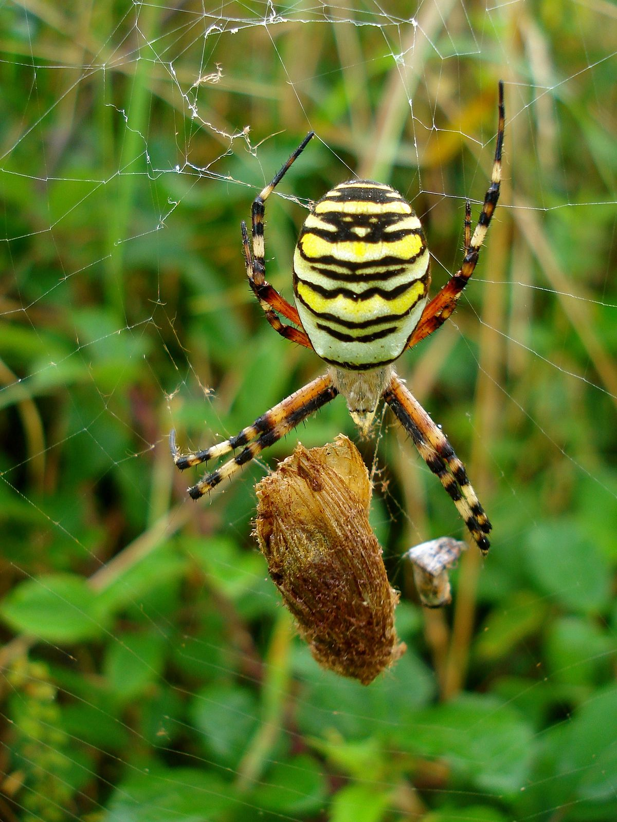 File Tiger Spider With Lunch Jpg Wikimedia Commons