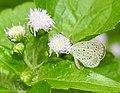 Tiny Grass Blue Zizula hylax by Dr. Raju Kasambe DSCN1663 (7).jpg