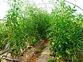 Tomatoes in Greenhouse (28269926871).jpg