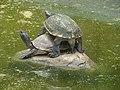 Tortoise ( Testudo Graeca) at Bannerghatta National Park.jpg