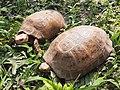Tortoise preservation in salbari,Nepal.jpg