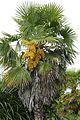Trachycarpus fortunei-Parc du Grand Blottereau (3).jpg