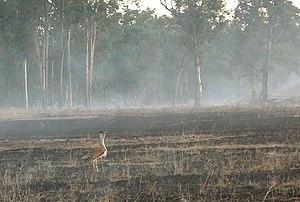 Australian bustard - Ardeotis australis in front of a bushfire