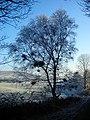 Tree Full of Nests - geograph.org.uk - 638416.jpg