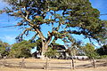 Tree and cottage - Jack London's Cottage - DSC03862.JPG