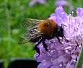 Tree bumblebee (Bombus hypnorum) on scabious, Sandy, Bedfordshire (7742422588).jpg