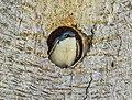 Tree swallow in a tree cavity nest in JBWR (25694).jpg