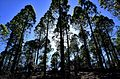 Trees in Roque Nublo National Park, sunshine, 2015-12-29.jpeg