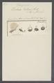 Trichoda proteus - - Print - Iconographia Zoologica - Special Collections University of Amsterdam - UBAINV0274 113 12 0002.tif