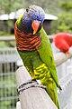 Trichoglossus haematodus -Jurong Bird Park-8a.jpg