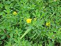 Trifolium campestre-Salzburg, Flachgau, Eugendorf-bE-HdN-1168b.jpg