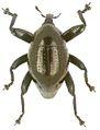 Trigonopterus gonatoceros holotype - ZooKeys-280-001-g033.jpg