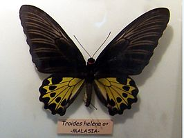 Troides helena mounted.jpg