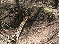 Trunk of fallen tree, site of Lexington plantation.jpg