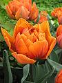 Tulip double cv. 12.JPG