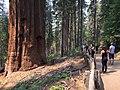 Tuolumne Grove Trail.jpg