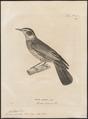 Turdus fuscatus - 1700-1880 - Print - Iconographia Zoologica - Special Collections University of Amsterdam - UBA01 IZ16300213.tif