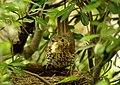Turdus philomelos -New Zealand -nest-8 (2).jpg