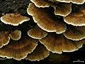 Turkey Tails (4498213571).jpg