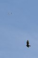 Turkey Vulture (Cathartes aura) and a Plane - Guelph, Ontario 2019-06-08.jpg