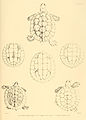 Turtle sketches of British India (4).jpg