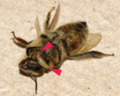 Two final instar larvae of Apocephalus borealis exiting a honey bee worker at the junction of the head and thorax.png