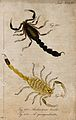 Two scorpions; Androctonus bicolor and Androctonus quinquest Wellcome V0022414ER.jpg
