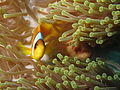 Twoband anemonefish in the Red Sea 1.JPG